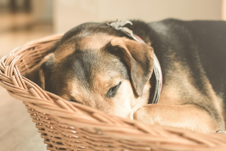 Sovande hund ihopkurad