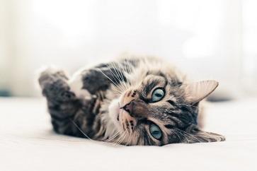 Höj Kattens Status