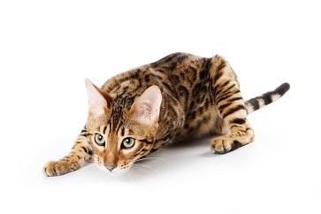 Introducera kattunge - 4 steg