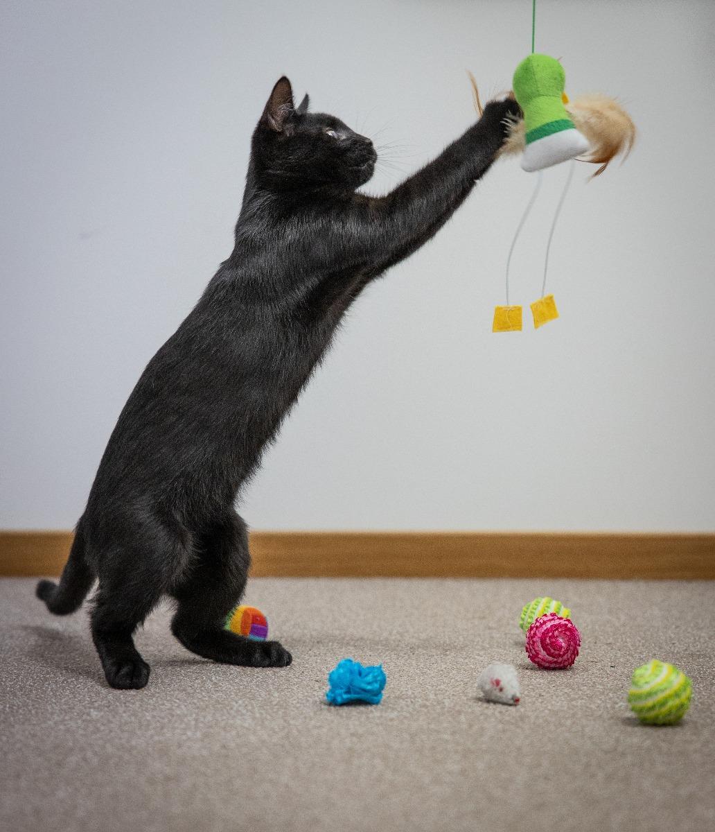 Kattungen Albert leker med sina leksaker