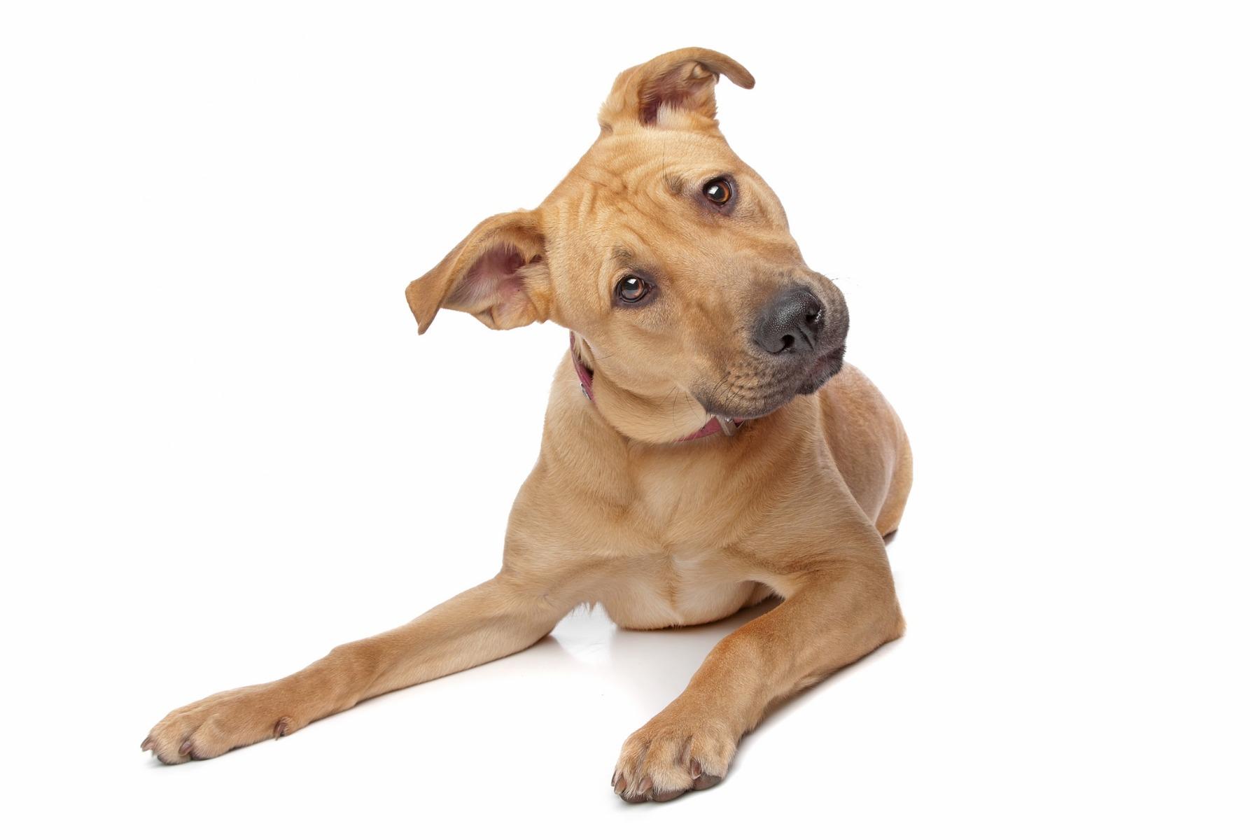 Hundar har en mycket god hörsel