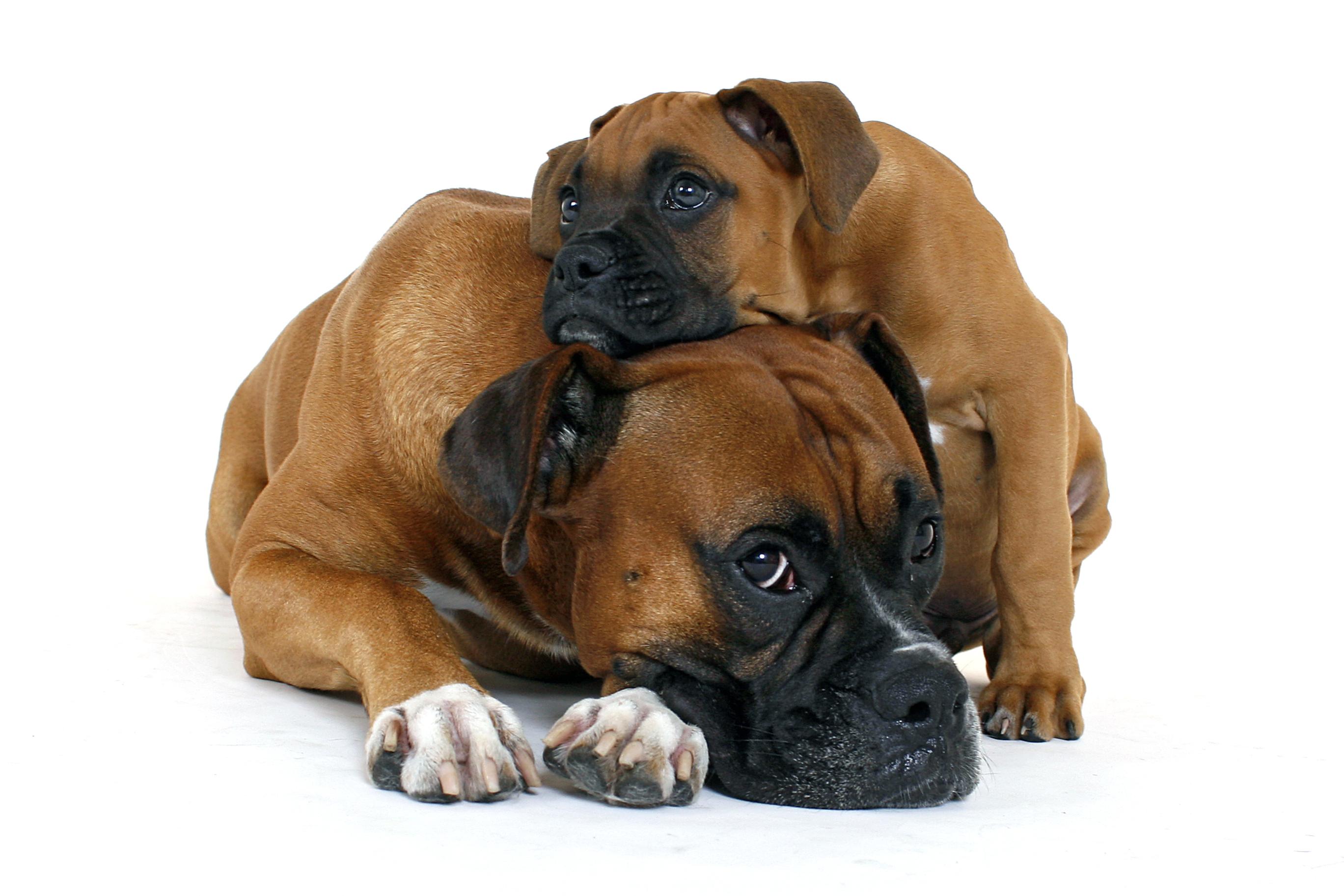 Låt valpen umgås med äldre, orädda hundkompisar