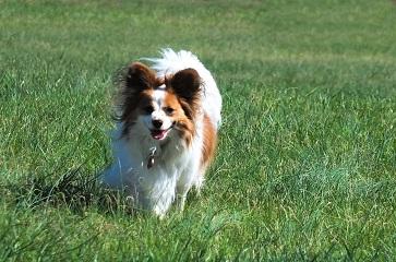Långhårig hund i högt gräs